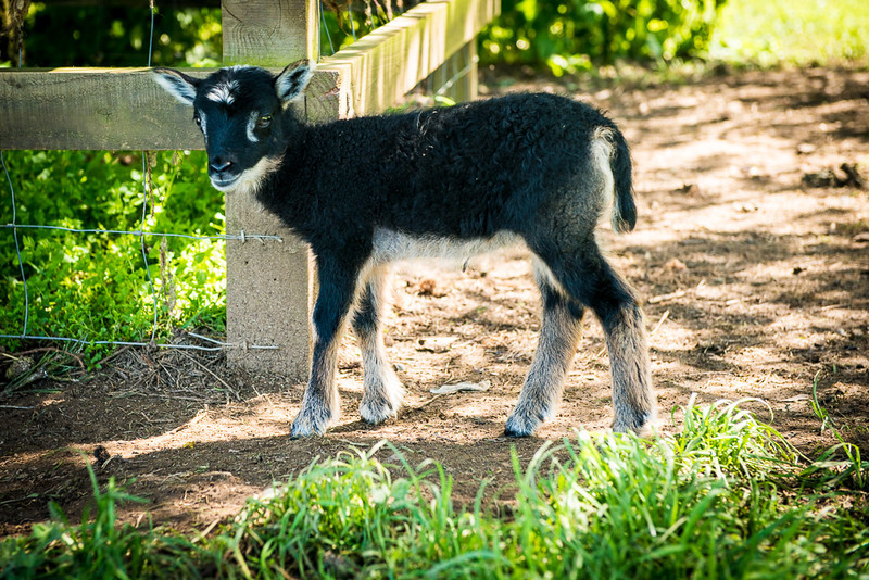 Lamb1-1.jpg