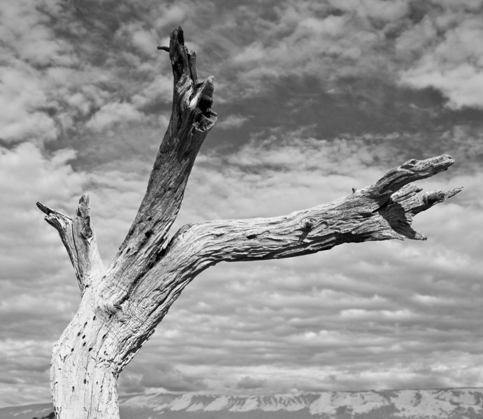 Dead tree near the sand dunes