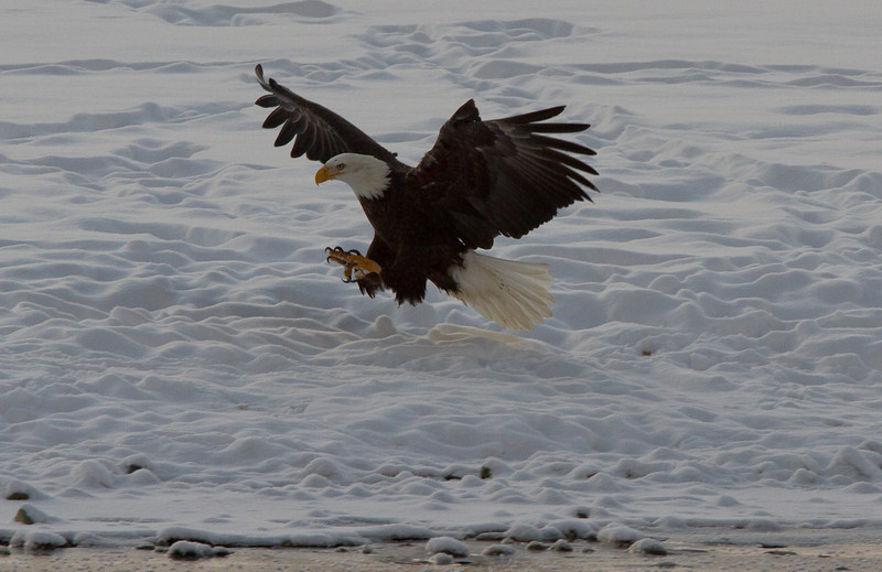 Tuesday_Eagle_7D-312.jpg