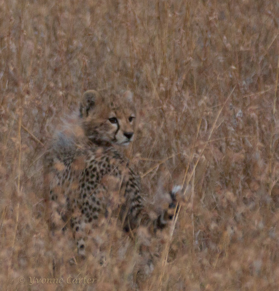 Baby Cheetah Facing R.jpg