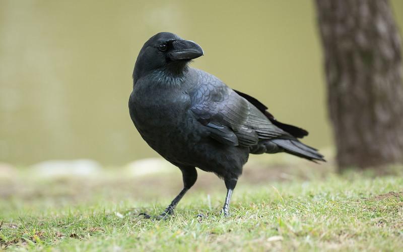 Crow at Hama Rikyū gardens, Tokyo
