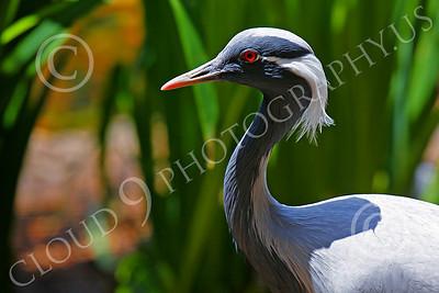 Demoiselle Crane Wildlife Photography