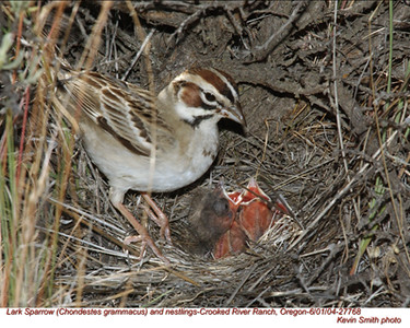 Emberizine Sparrows and Allies