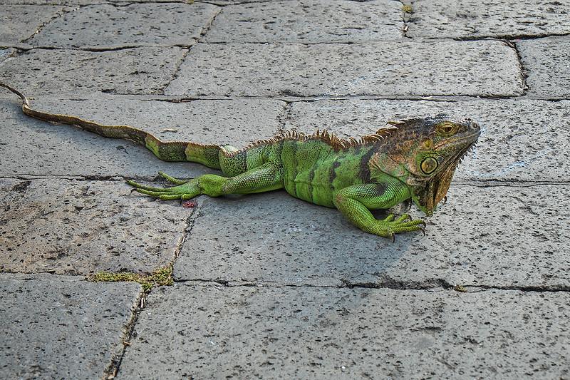 Iguana 1405210896.jpg