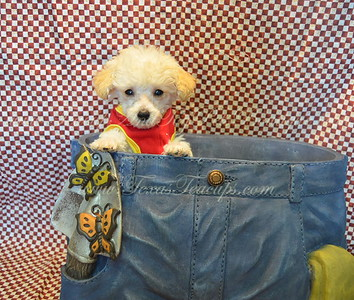2017 POODLE PUPPIES FOR SALE