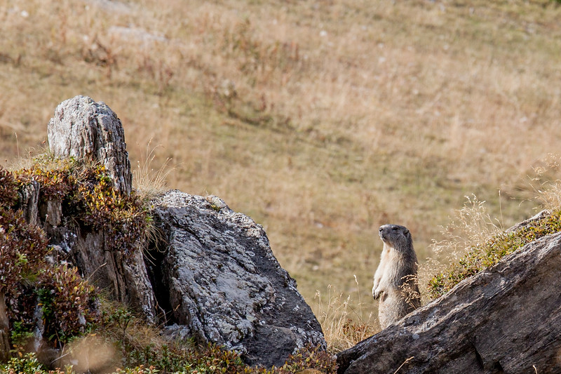 A marmot on a ski slope at Tignes, France.