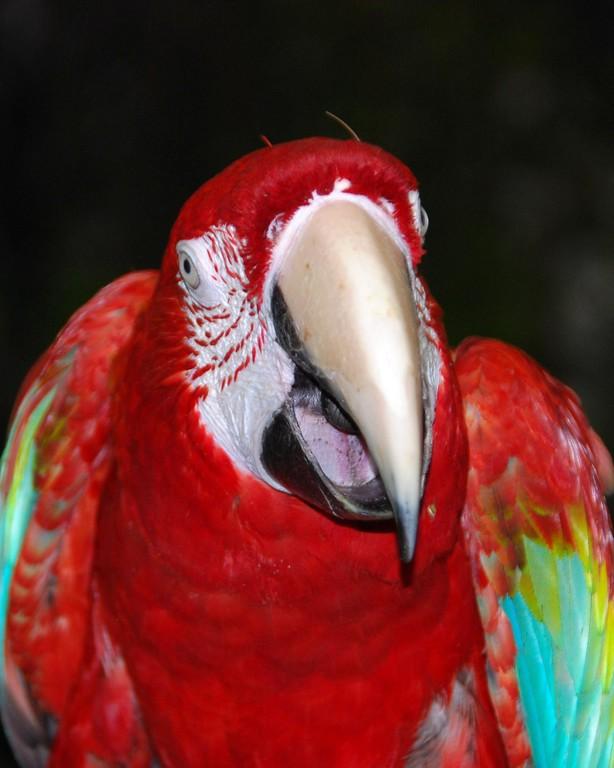 Pet Portrait Photography - Parrot - Bird- Palmer - Alaska - USA