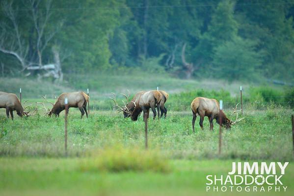 Elk at Boxley September 2