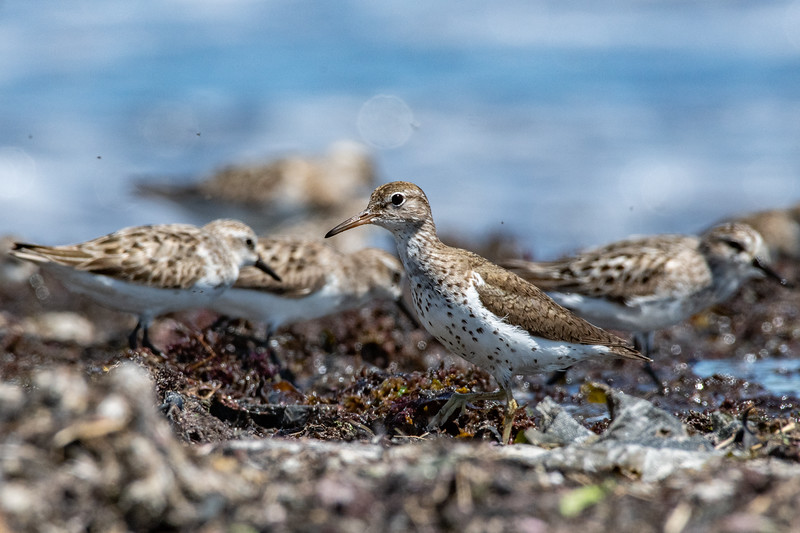 Spotted Sandpiper with Semipalmated Sandpipers