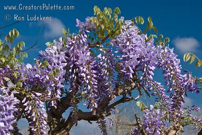 Wisteria sinensis 'Blue' - Blue Wisteria
