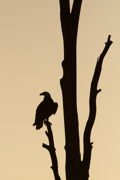 Bald Eagle, Twin Lakes area, Methow Valley