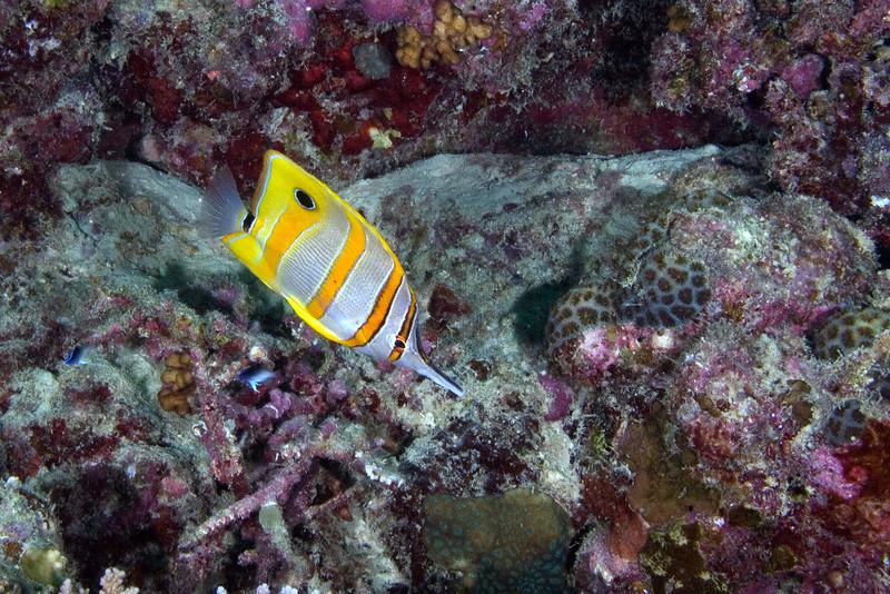 Long Beaked Coral Fish.jpg