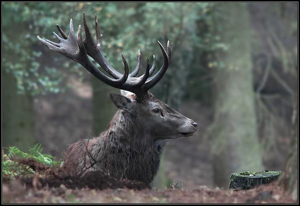 Edelhert/Deer