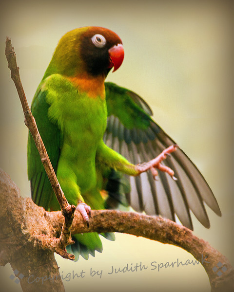 The Lovebird Ballet