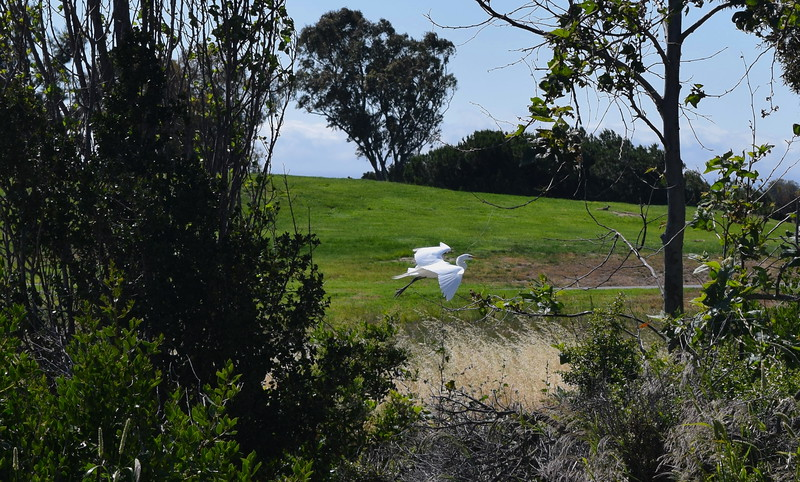 A great egret glides through the Stevens Creek preserve