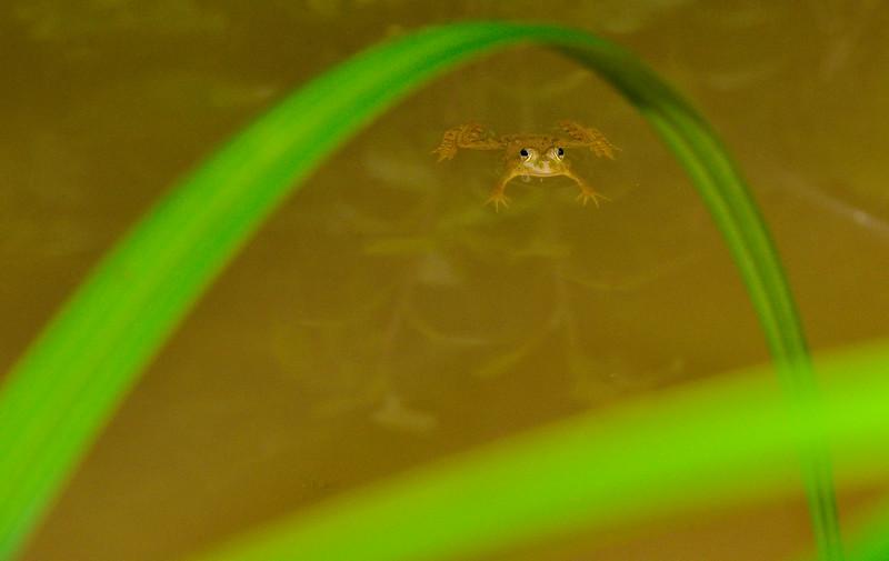 Framed-by-grass-blades-skittering-frog-agumbe.jpg