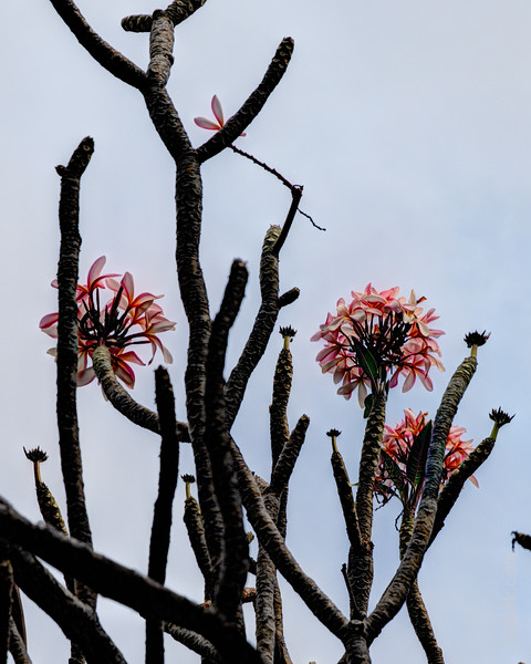 Flowers at ʻAnaehoʻomalu Beach