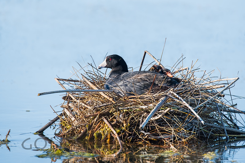 American Coot, Summer Lake Oregon