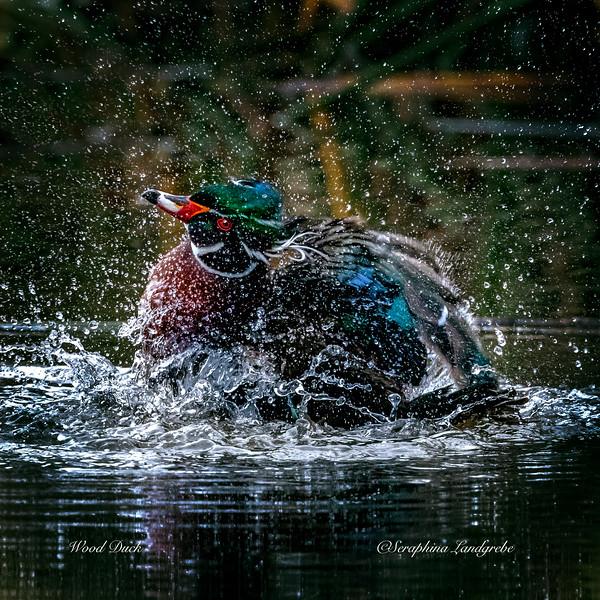 _DS02006Splashiing Wood Duck.jpg