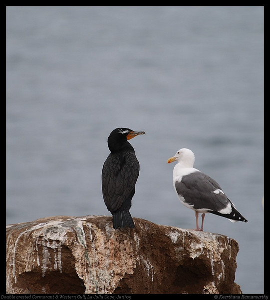 Double-Crested Cormorant & Western Gull in conversation, La Jolla Cove, San Diego County, California, January 2009
