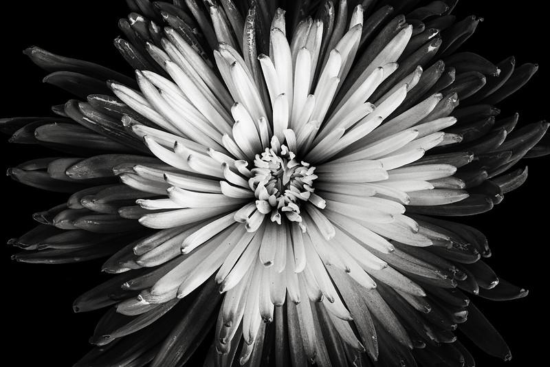 chrysanthemum-02-bw.jpg