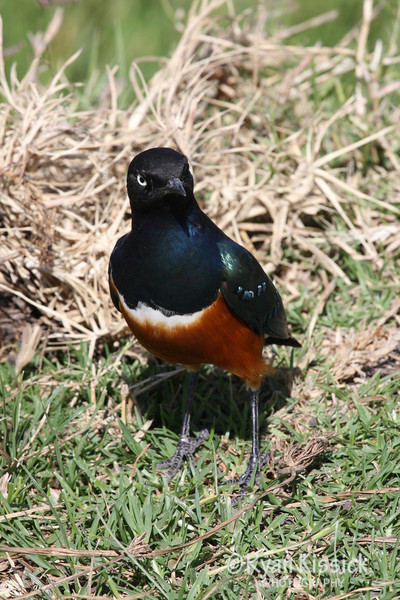 Beautiful bird called a Superb starling