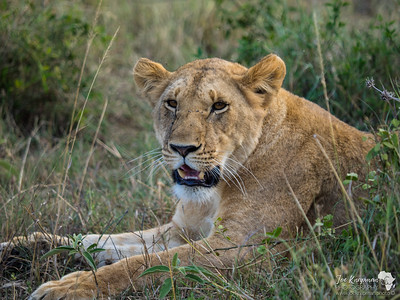 Lioness in the Mara