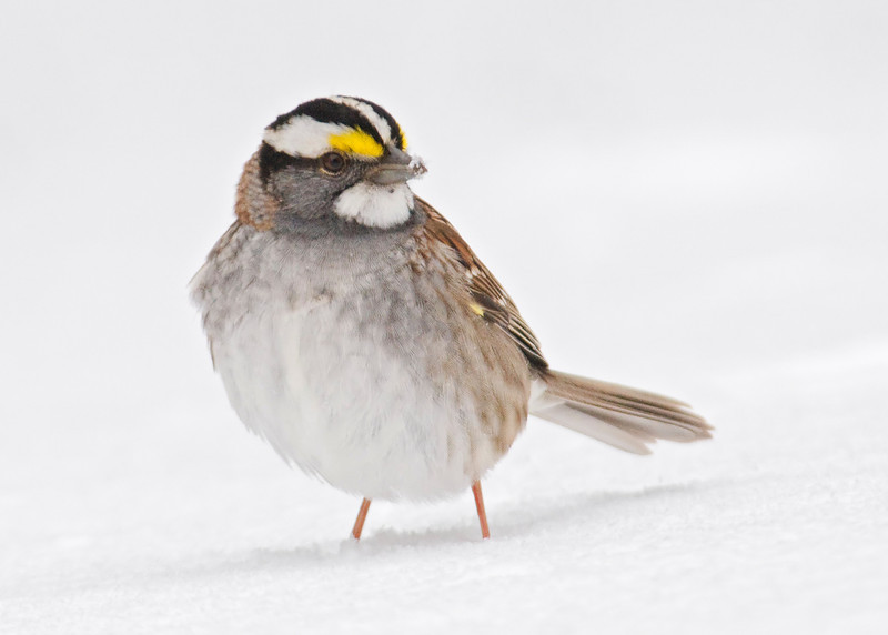 Sparrow - White-throated - Dunning Lake, MN - 03