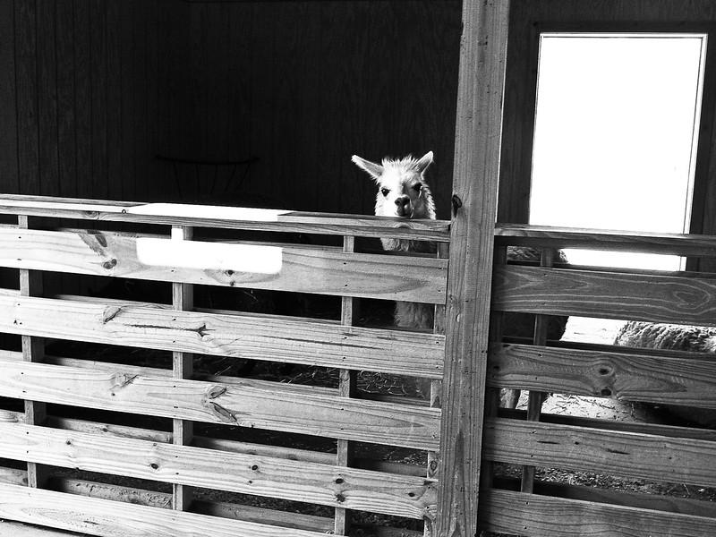 I_Love_Alpacas.jpg