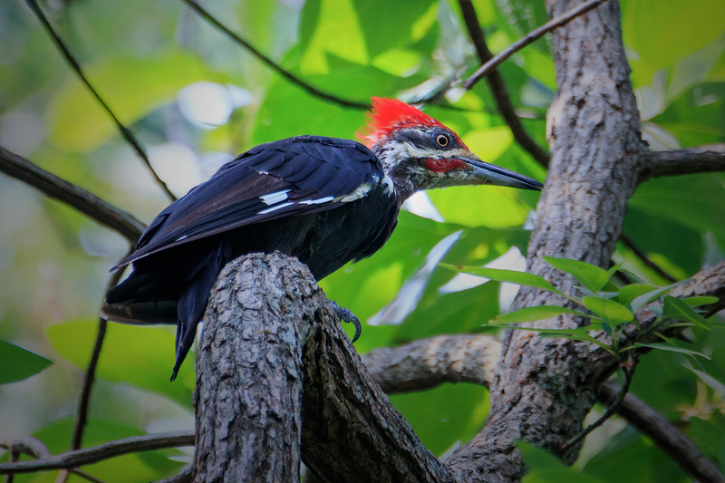 5.22.18 - Prairie Creek Recreation Area: Pileated Woodpecker