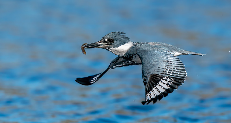 kingfisher 1 22 21-908.jpg
