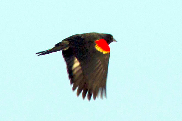 A red-winged blackbird taking flight.