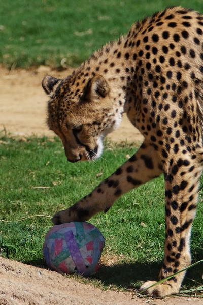 Cheetah_8008.jpg