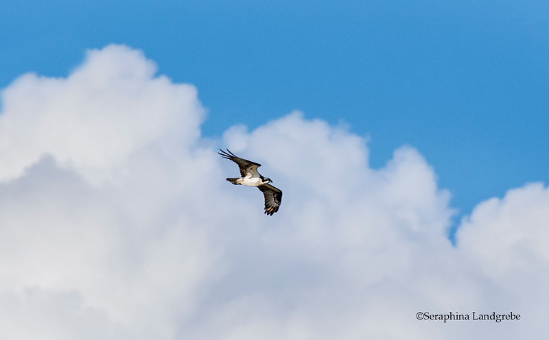 _DSC9284Osprey in the clouds b.jpg