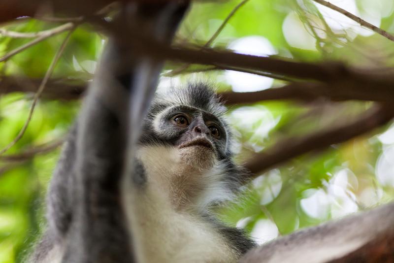 Thomas Leaf Monkey, Gunung Leuser NP