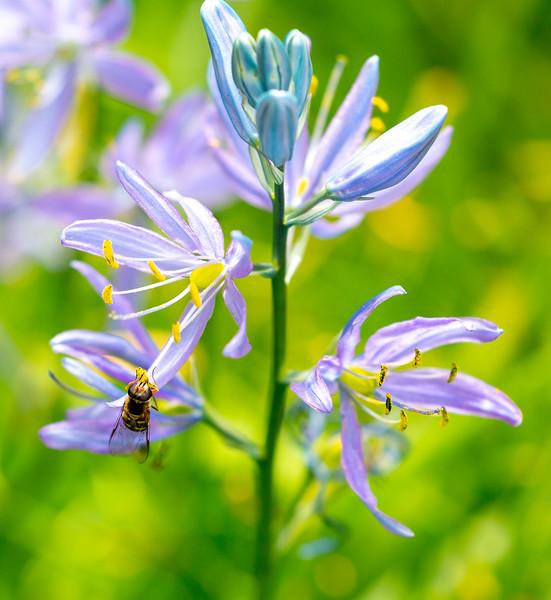 Bee in a light violet flower