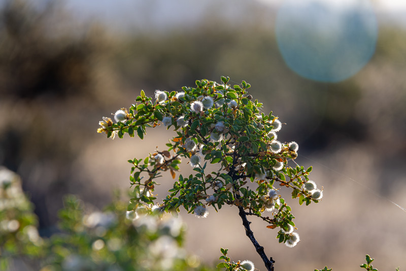 Detail of a desert plant with green leaves and fuzzy white flowers that are back lit