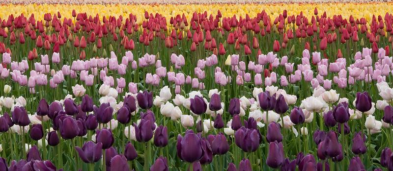 Tulip rainbow copy.JPG