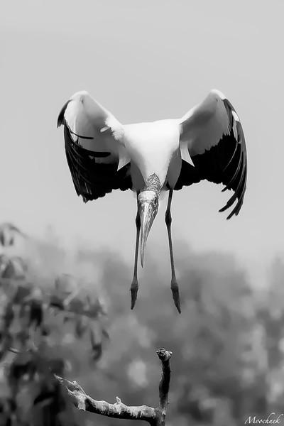 stork_1726-Edit.jpg