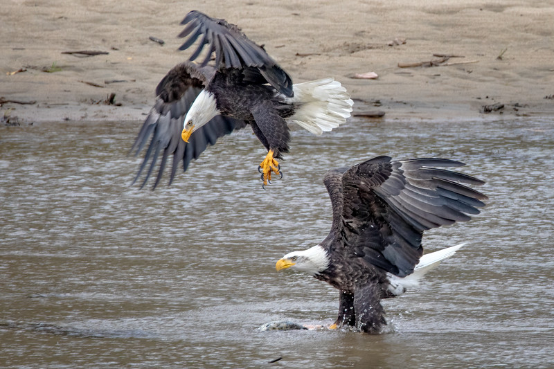 PM Eagles and Fish_B6A5815-1.jpg