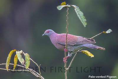 Pale-vented Pigeon, Tambo Blanquillo Lodge, Peru