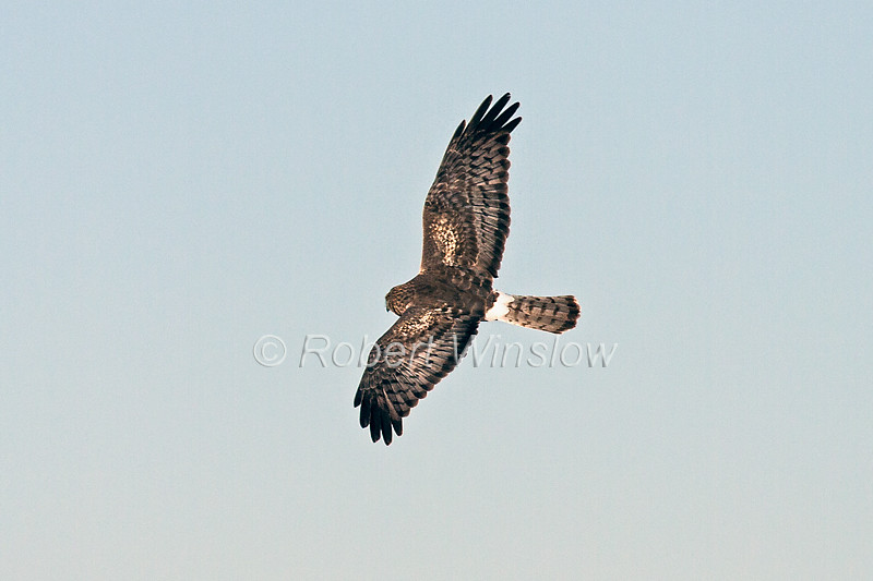 Northern Harrier, Circus cyaneus, flying, Bosque del Apache National Wildlife Refuge, New Mexico, USA, North America