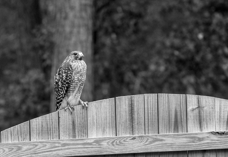 MMG_Red Shouldered Hawk Mount Pleasant SC_3 BW.jpg