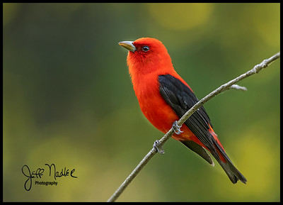 Tanagers
