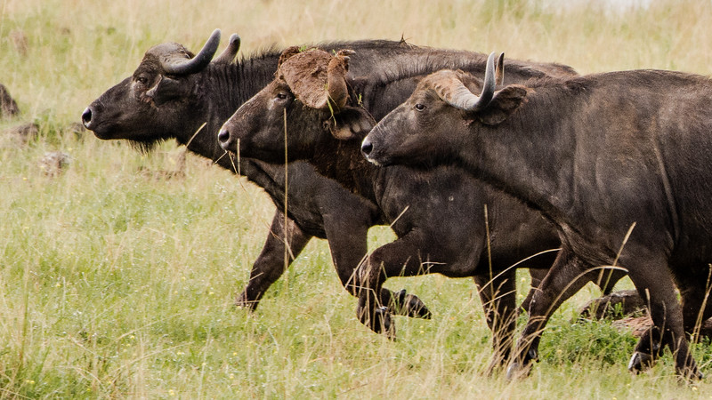 Attack of the Buffalos-0102.jpg
