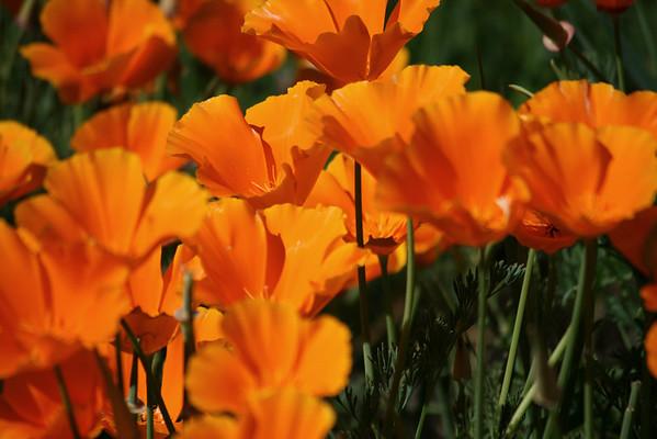 Folsom Wildflowers