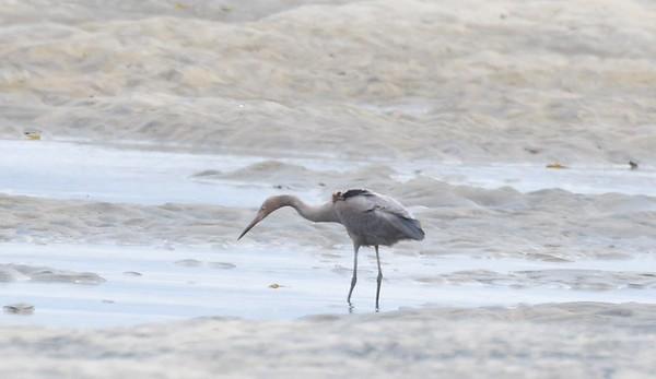 Reddish Egrets? - Tijuana River Mouth
