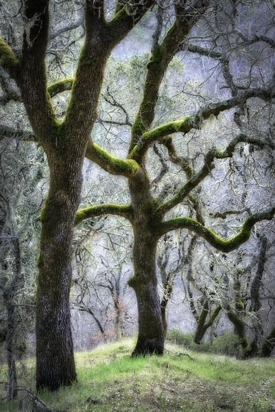 Forest Oak, Sonoma Valley, California
