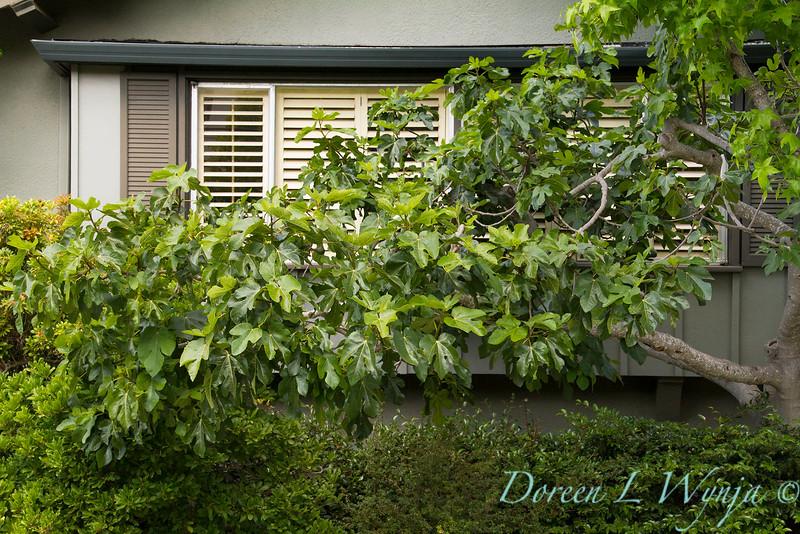Ficus carica landscape_1877.jpg