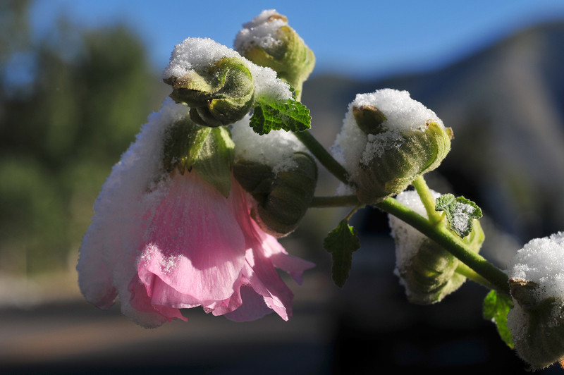 frozen hollyhock